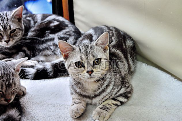 striped gray cats - Free image #229445