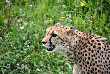 Cheetah on green grass - image #229495 gratis