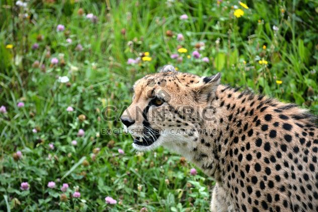 Cheetah on green grass - Free image #229495