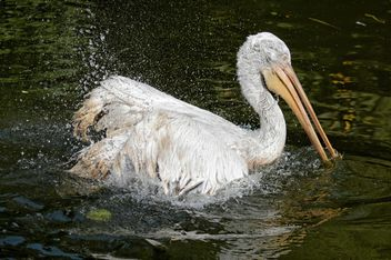 Pelican in a pond - Free image #229515