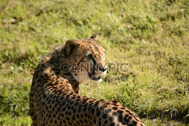 Cheetah on green grass - Free image #229525