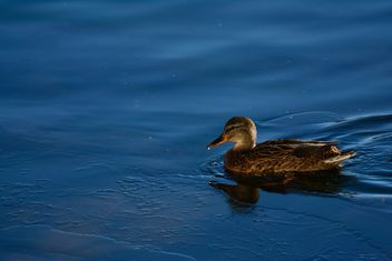 Duck swiming in the blue water of the pond - image #271905 gratis