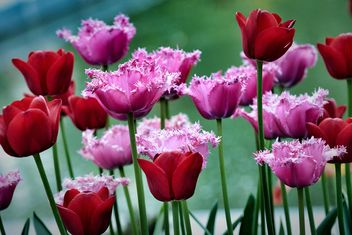 Red and pink tulips - image gratuit #271935