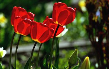 Red tulips in sunlight - image #271965 gratis