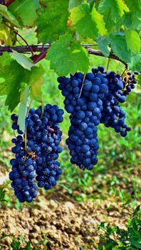 Wine grapes at countryside - image #272915 gratis