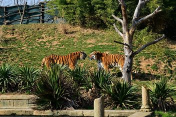 Tigers in a Zoo - image gratuit #273675