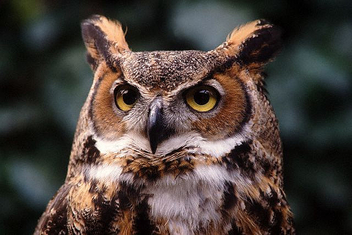 horned_owl - Free image #275335