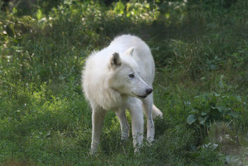 Watchful Arctic Wolf - Free image #275635