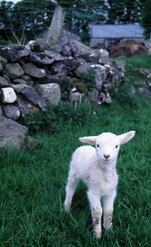 Irish Lamb - Free image #275645