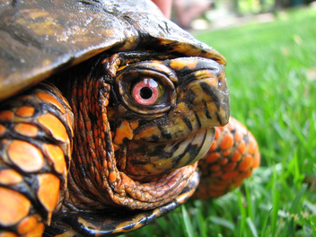 Box Turtle Closeup - image gratuit #276365