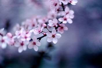 Cherry Blossoms - Free image #276935