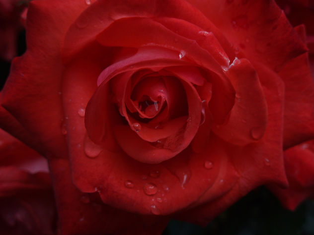 Rose In The Rain - image gratuit #277195