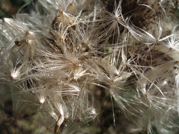 Thistle Seed Explosion - Free image #277385