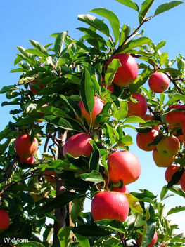 Apple Trees - image #277435 gratis