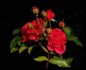 lovely roses - Kostenloses image #277735