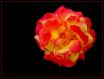 the_rose - image #277935 gratis