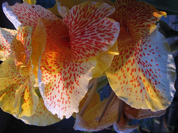 Yellow cannas - Free image #277945