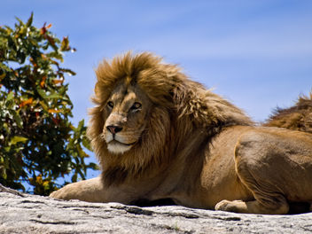 Male Lion on Rock - Free image #278215