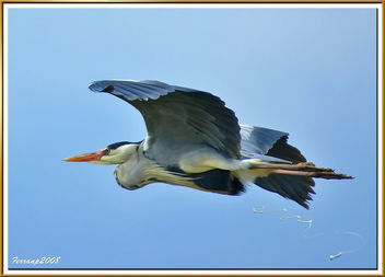 Bernat pescaire - Garza real defecando en vuelo - Grey heron defecating in flight - Ardea cinerea - image #278235 gratis