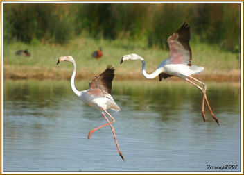 flamencs volant 10 - flamencos en vuelo - greaters flamingos in fligth - phoenicopterus ruber - Free image #278465