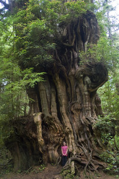 Big Cedar Tree, (tiny girl) Olympic National Park - бесплатный image #278635