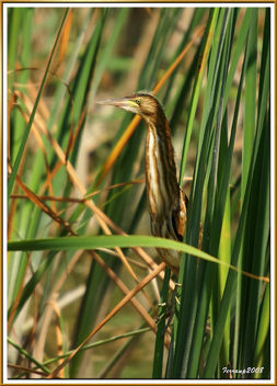 joven avetorillo 02 - jove martinet menut - young little bittern - бесплатный image #278725