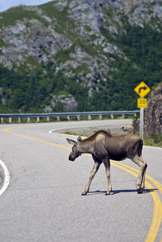 moose crossing - image #278875 gratis