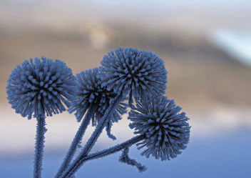 Frosty thistles - Kostenloses image #279245