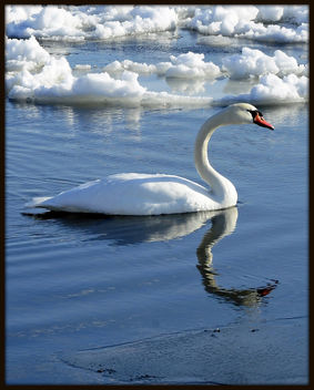 Lake Ontario Swan (Curved Neck) - бесплатный image #279395