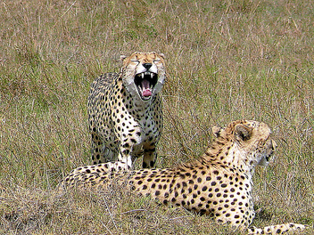 Cheetahs in the Mara - Kostenloses image #279695