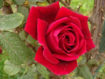 The rose has thorns only for those who would gather it - Kostenloses image #279885