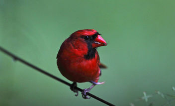 Cardinal having a snack - бесплатный image #280075