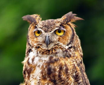 Great Horned Owl - image gratuit #280275