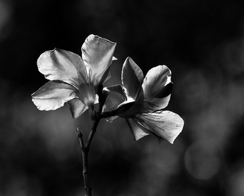 b&w with bokeh - image gratuit #280345