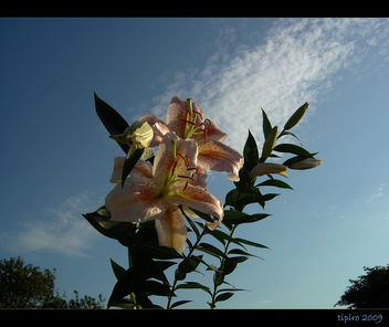 Lilies Of The Field - image gratuit #280495