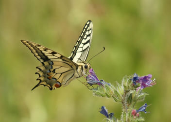 Mariposa Rey - Papilio Machaon - Swallowtail - бесплатный image #280655