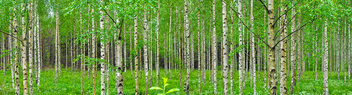 Birch Forest - Free image #280755