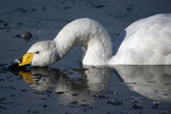 Whooper Swan, Martin Mere January 2010 - Free image #280855