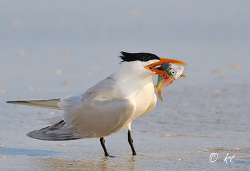 Royal Tern with Fish - Free image #280875