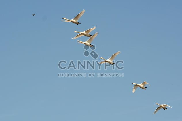 Swans flying - Free image #281015