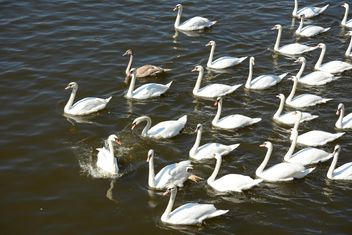 Swans on the lake - image #281025 gratis
