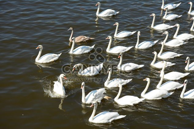 Swans on the lake - Free image #281025