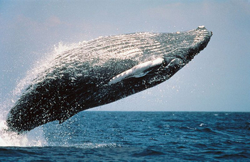 Humpback whale - Free image #281175