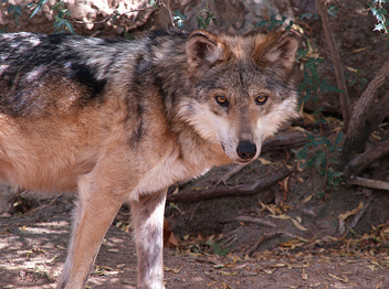 Mexican Wolf 003 - Free image #281225