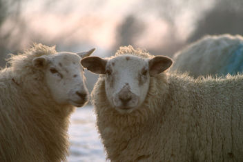 Sheep - Free image #281235