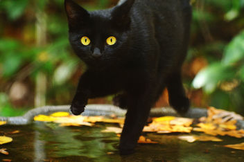 Black Cat in Birdbath - image gratuit #281285