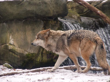 Mexican Gray Wolf - Free image #281295