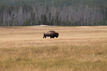 Bison in Meadow; Yellowstone National Park - Free image #281545