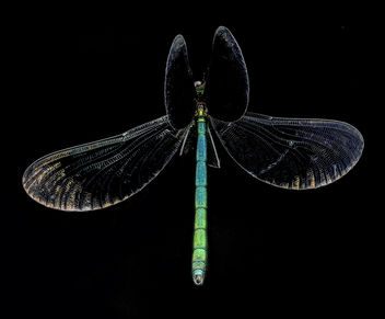 Ebony Jewelwing Damselfly, U, Wings, PG County, Maryland_2013-06-12-16.24.58 ZS PMax - image gratuit #281795