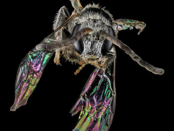 Lasioglossum foxii, M, Face, MD, Baltimore Co_2013-07-30-16.13.30 ZS PMax - бесплатный image #281915